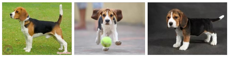 Купить недорого щенка Бигля в питомнике у официального дилера в Волгограде