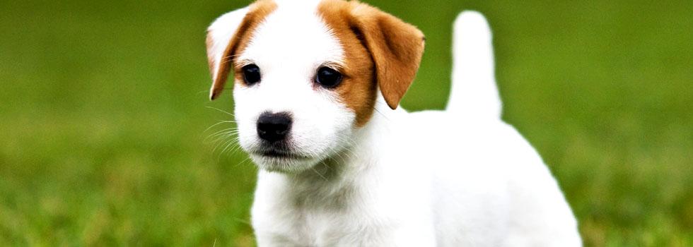 Купить щенков Джек Рассел терьера в Волгограде