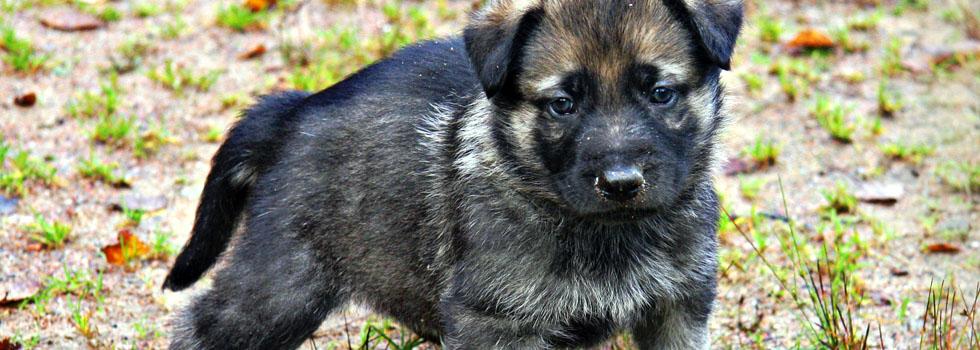 Купить щенков Восточно европейской овчарки в Волгограде